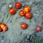 rote Murmeln im Sand