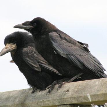 Besucher und Mitbewohner: Die Krähe