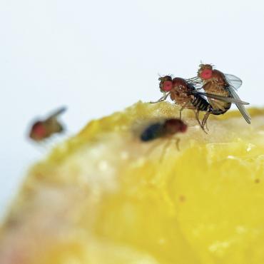 Besucher und Mitbewohner: Die Obstfliege